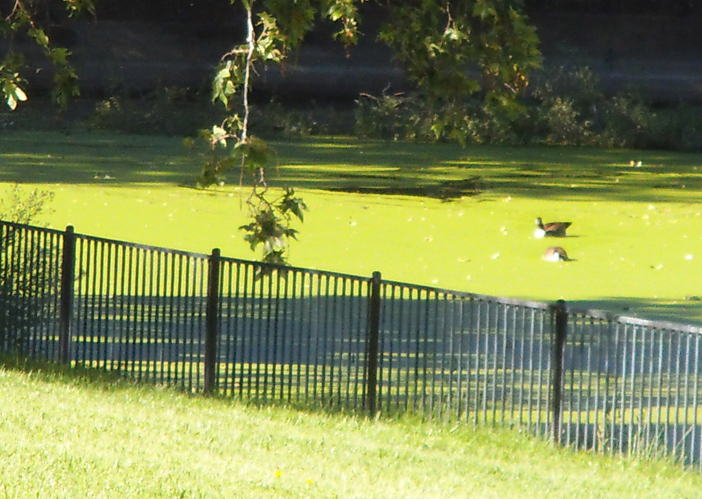 Canada Geese on Duck Weed Pond