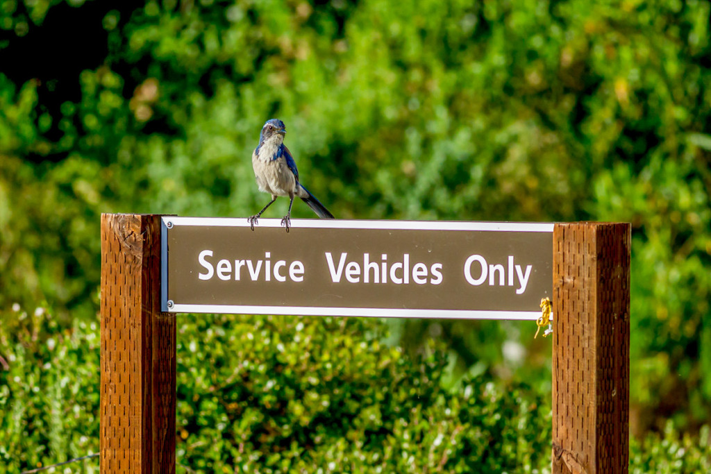scrub jay on sign