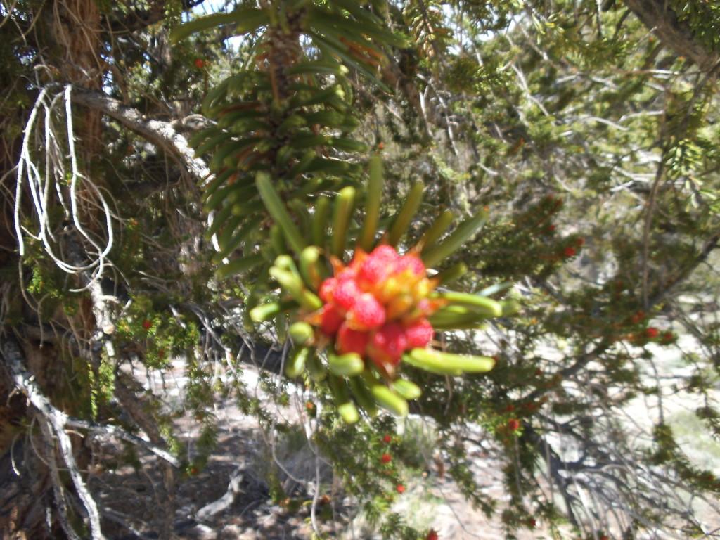 Bristlecone Bloom