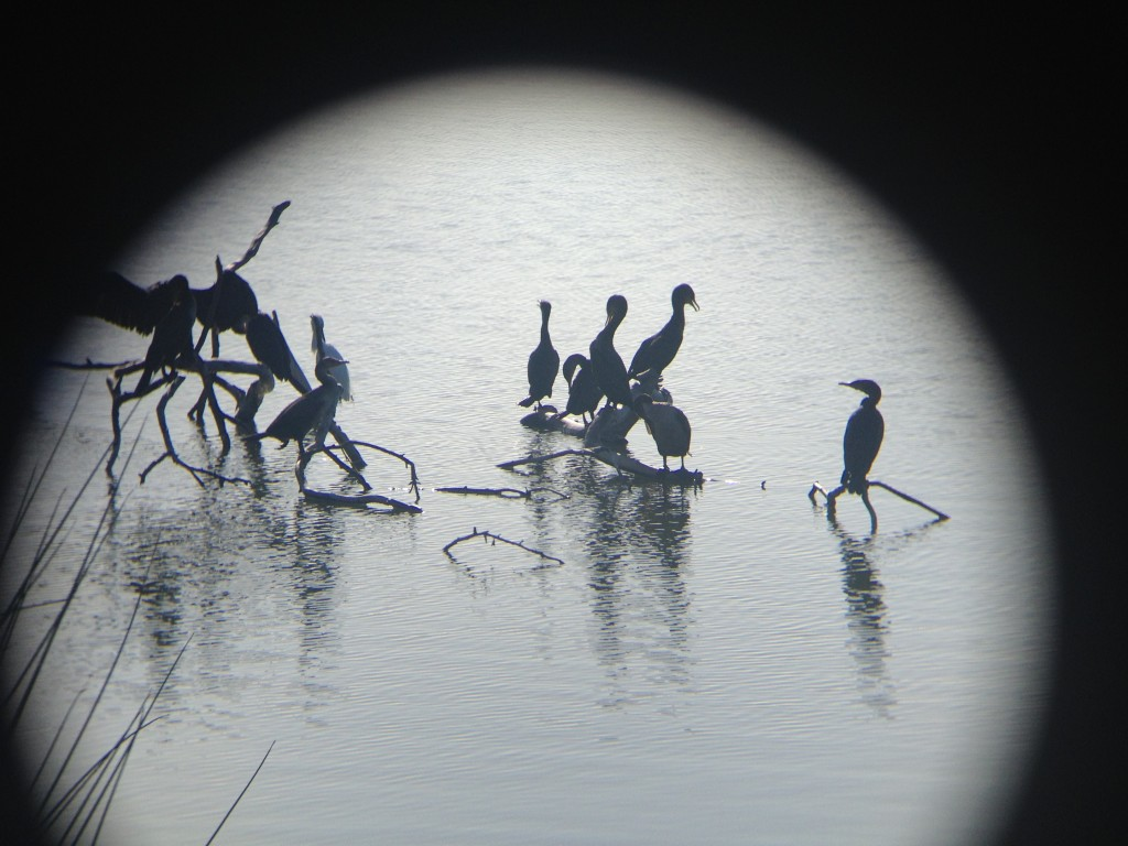 Cormorants at Malibu Lagoon